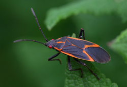 Box Elder Bug Exterminator MN