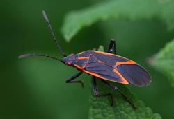 Box Elder Bug Exterminator MN