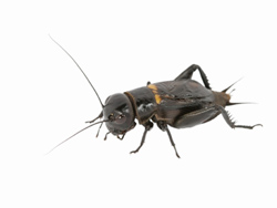 Cricket Infestation Removal