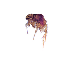 Biting Flea Exterminator MN
