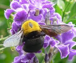Carpet Bee