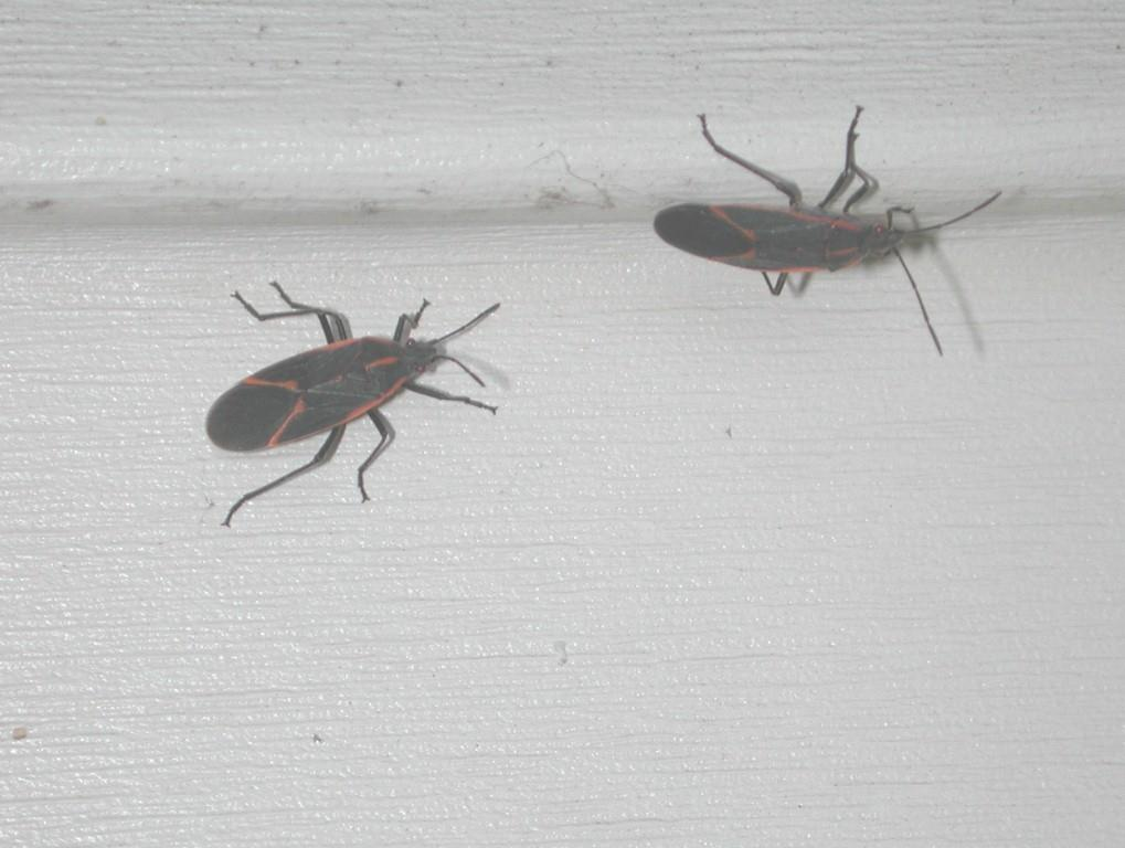 Box Elder Bugs Looking For Overwintering Sites On A Home.