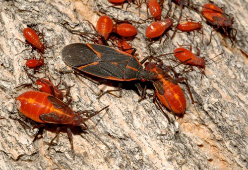 Box Elder Bug FAQs