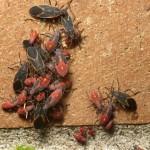 Boxelder bug exterminator