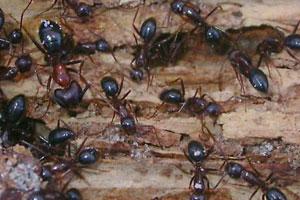 Carpenter Ant Exterminator Andover, MN
