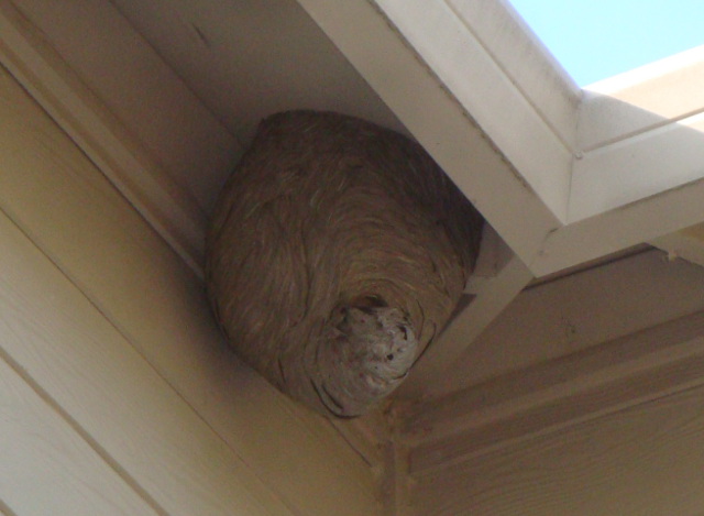 Wasp Nest Removal Minneapolis