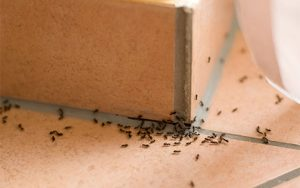 Ant Problems in St. Paul, MN