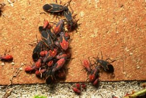 Box Elder Bug Exterminator North Metro