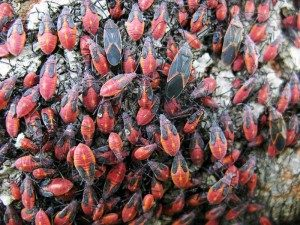 Boxelder Bug Extermination in The Fall
