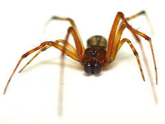Closeup image of a common house spider found in Minnesota
