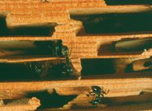 Damage to wood caused by carpenter ants