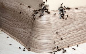 Ant Infestation In My Home - Exterminator in Anoka County