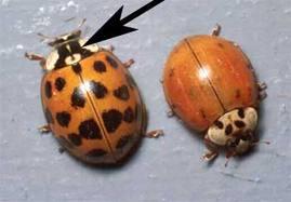 Ladybug Exterminator St Paul