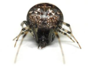 Types of Spiders in Minnesota