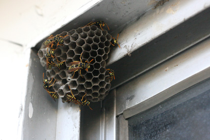 Wasp Extermination Services MN | Wasp Exterminator Minneapolis