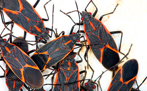 Image of Boxelder Bug Infestation