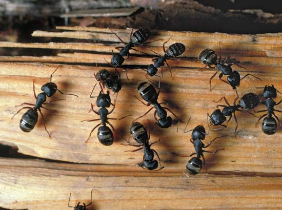 Carpenter Ant Exterminator Minneapolis