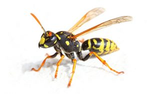 Bee and Wasp Exterminator Minneapolis